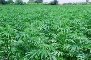 piantagione cannabis canapa