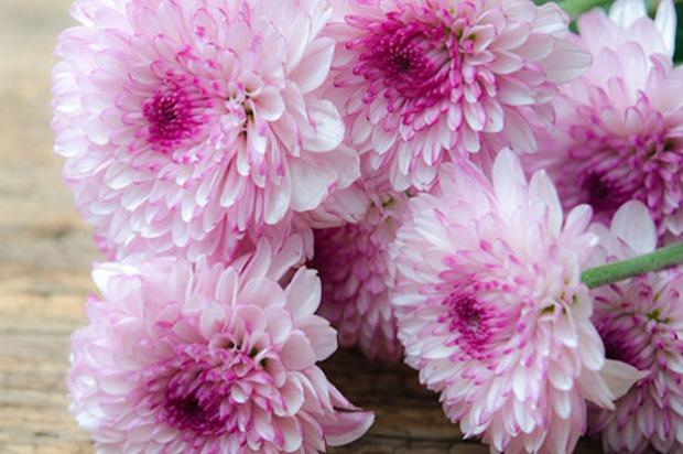crisantemi_rosa