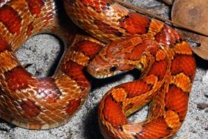 elaphe-guttata-serpente