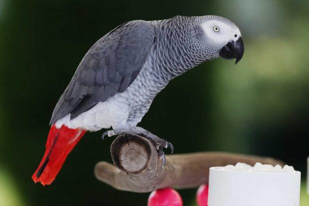 pappagallo-cenerino cinerino